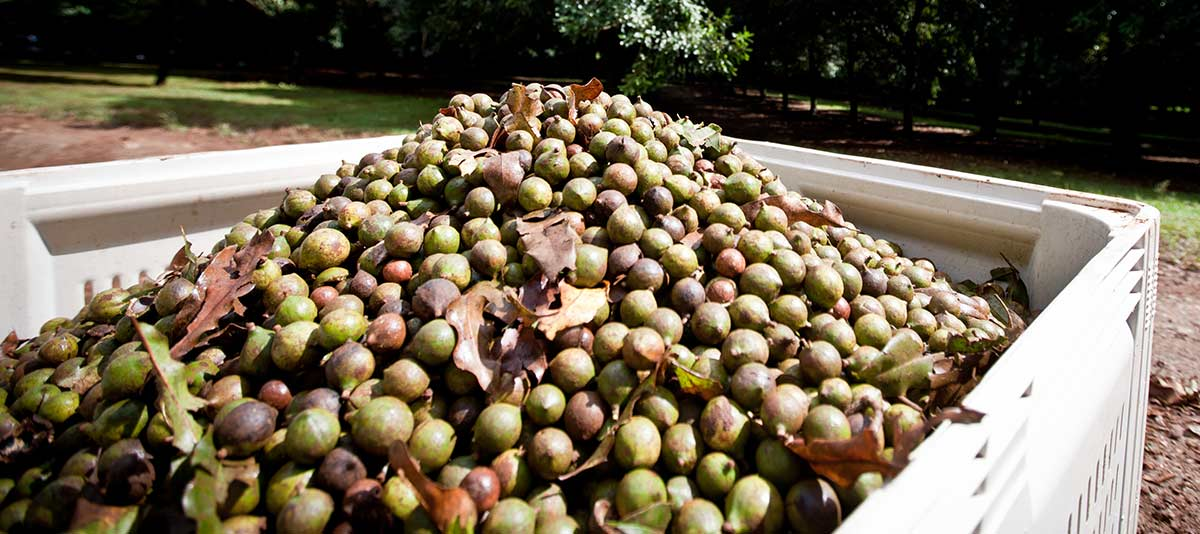 Macadamia nuts in a picking bin